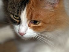 Free Feline Beauty Royalty Free Stock Image - 1589596