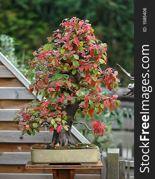 Quince Bonsai In Fall Free Stock Images Photos 1585406 Stockfreeimages Com