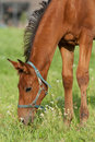 Free Foal Grazing Royalty Free Stock Photos - 15800308