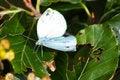 Free Polyommatus Icarus On Marjoram Stock Photography - 15801262