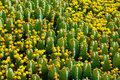 Free Fragment Of Flowering Cactus Field. Royalty Free Stock Photography - 15801547