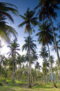Free Coconut Garden Stock Photography - 15808872