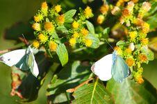 Free Polyommatus Icarus On Marjoram Stock Image - 15801271