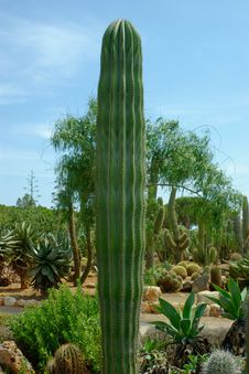 Free Straight Tall Thick Body Cactus. Stock Photos - 15801273