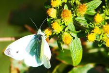 Free Polyommatus Icarus On Marjoram Stock Photos - 15801283