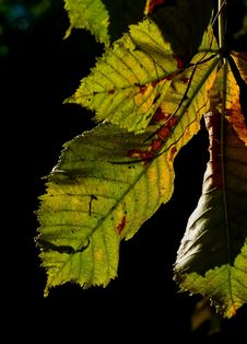 Free Horse-chestnut Leaves Royalty Free Stock Image - 15801326