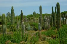 Free Beautiful Cactuses On The Cactus Plantation Royalty Free Stock Photos - 15801328