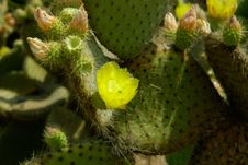 Macro View Of Cactus Flower Royalty Free Stock Images