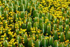 Fragment Of Flowering Cactus Field. Royalty Free Stock Photography