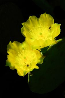 Two Yellow Cactus Flowers Are Next To Each Other. Stock Photos