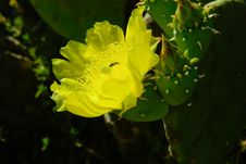 Open Yellow Cactus Flower. Bee Is In Flower. Stock Photography