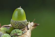 Free Acorn Sat On Curled Leaf With Green Backround Stock Image - 15801701