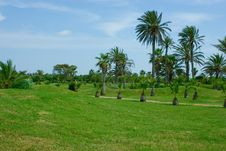 Free Grassy Plot. Many Big And Small Palm Trees Royalty Free Stock Images - 15801759