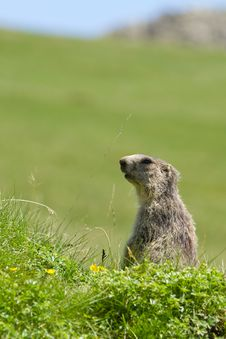 Free Marmot In The Alps Royalty Free Stock Image - 15801876