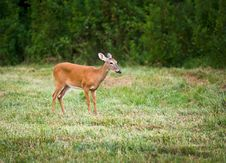 Outdoor Mammal Wildlife White Tail Doe Deer Stock Images