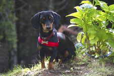 Free Dachshund Puppy Royalty Free Stock Photo - 15802605