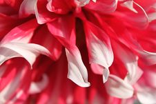 Free Pink Dahlia Royalty Free Stock Photography - 15802957