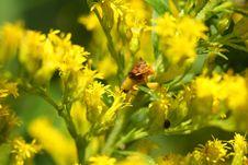 Free Ambush Bug Royalty Free Stock Photo - 15803765