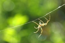 Black & Yellow Garden Spider Male Royalty Free Stock Image