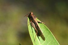 Free Grasshopper Royalty Free Stock Photos - 15803928