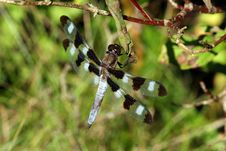 Free Twelve Spotted Skimmer Dragonfly Royalty Free Stock Images - 15804079