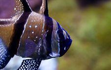 Free Pterapogon Kauderni - Cardinal Fish Stock Images - 15804094