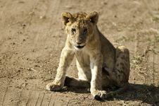 Free Cute Lion Cub Stock Images - 15805224