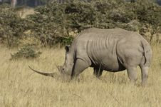 Free Long Horned Rhino Stock Photo - 15805390