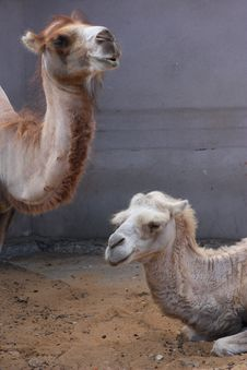 Free Two Camels Stock Photography - 15805632