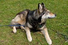 Free Malamute Puppy Stock Images - 15805884