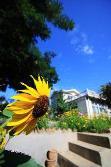 Free Sunflower Stock Image - 15807511