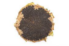 Free Fresh Sunflower Stock Photography - 15808522