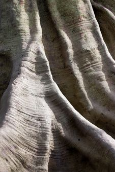 Free Centennial Tree Texture Stock Photography - 15808952