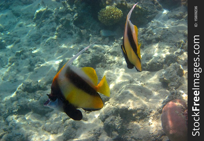 2 pennant fish