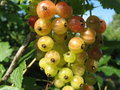 Free Redcurrant Royalty Free Stock Image - 15812476