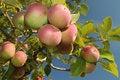 Free Apple Cluster Stock Photos - 15815923