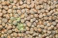 Free Hazelnuts Stock Photography - 15816362