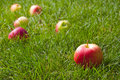 Free Beautiful Red-yellow Apples Royalty Free Stock Image - 15816436