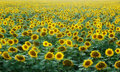 Free Field Of Sunflowers Stock Photography - 15819082