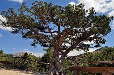 A Medical Tree Is A Juniper Stock Photos