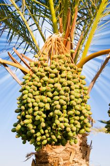 Free Date Palm With Green Unripe Dates. Stock Images - 15811864