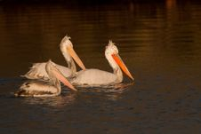 Free Dalmatian Pelicans Family Royalty Free Stock Photos - 15811938
