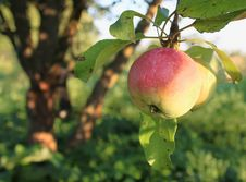 Free Apple On A Tree Stock Images - 15812184