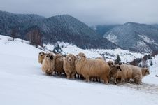 Sheep Flock In Mountain, In Winter Royalty Free Stock Photography