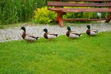 Free Ducks On Green Grass Stock Photo - 15812440