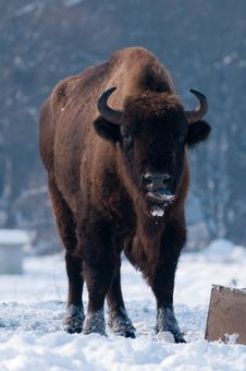 Free Male Of European Bison (Bison Bonasus) In Winter Stock Photography - 15812532