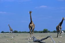 Free Giraffe Stock Images - 15812554