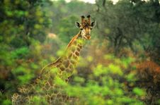 Free Giraffe In The Bush Stock Image - 15812561