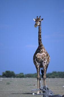 Free Giraffe Stock Image - 15812571