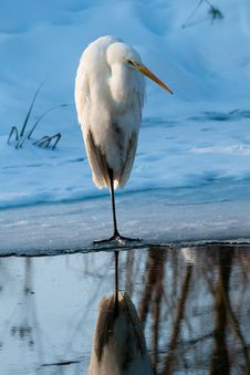 Free Great White Egret Standing On Ice Stock Photos - 15812583